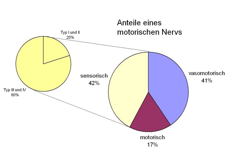Anteile eines motorischen Nervs